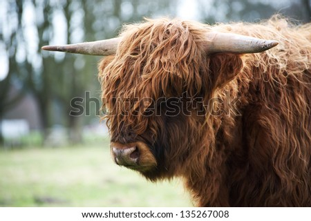 Detailed portrait of the scottish highland cattle, Netherlands