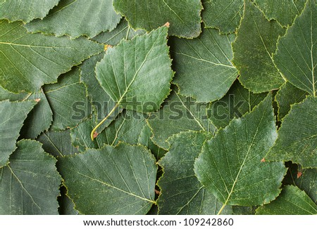 Detailed Texture, Background of Natural Green Tree Leaves - stock photo