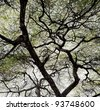 Detailed tree branches in Lake Manyara National Park - Tanzania - stock photo