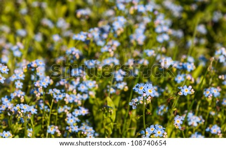 Detailed view at many blue flowering Forget me not plants and one spider in a sunny meadow. - stock photo