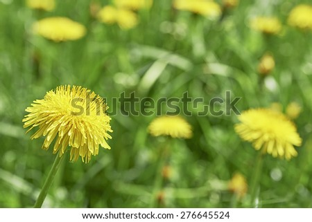Detailed view of blooming dandelions on meadow - stock photo