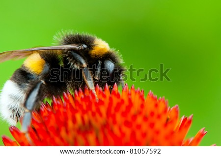 Detailed view of bumblebee on a flower. - stock photo