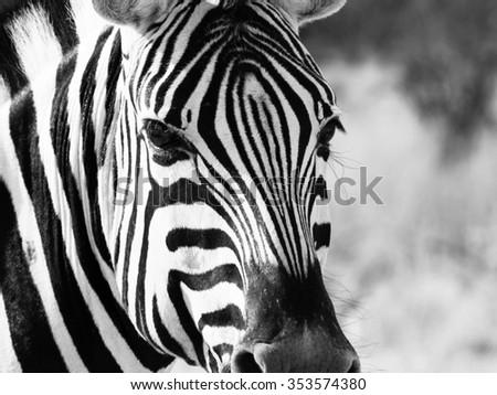 Detailed view of head of zebra, Etosha National Park, Namibia. Black and white image. - stock photo
