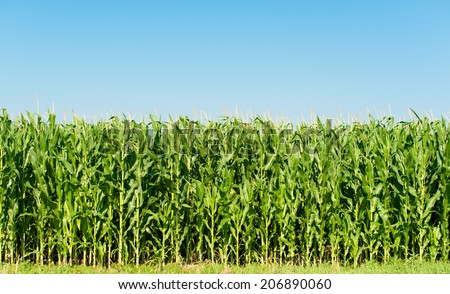 Detailed view of still unripe maize plants growing on the field. - stock photo