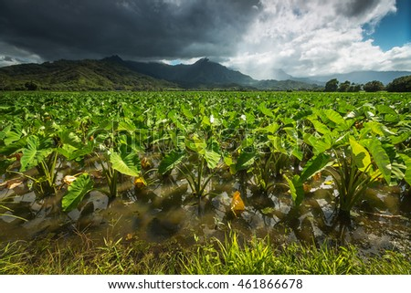 Detailed view of the taro fields of Hanalei Valley on the island of Kauai, Hawaii