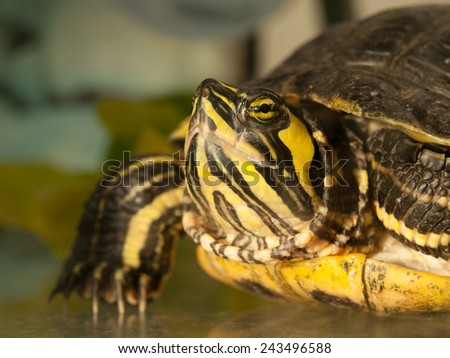 Detailed view of turtle's head, side view, Trachemys scripta elegans - stock photo