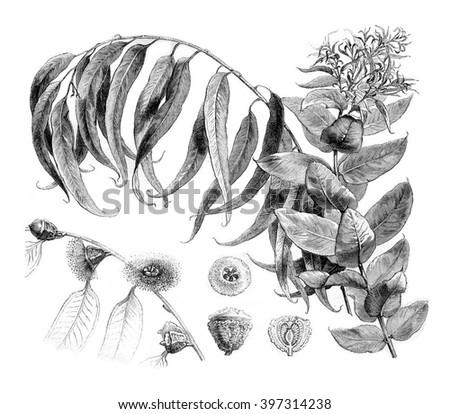 Details Eucalyptus globulus, vintage engraved illustration. Magasin Pittoresque 1880. - stock photo