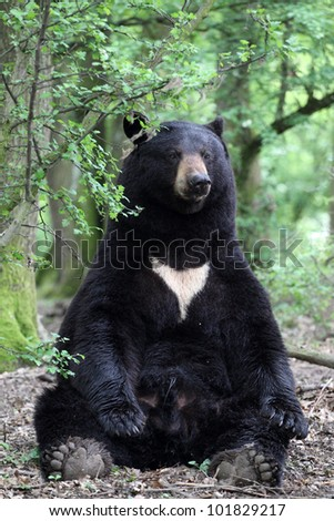 details of a american black bear sitting in forest