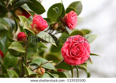 Details of a blossoming camellia branch in spring.