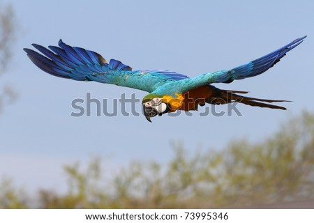 details of a Blue-and-yellow Macaw in flight