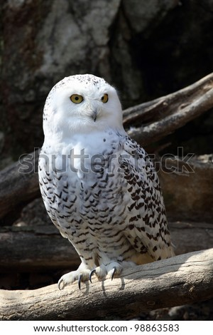 details of a snowy owl perched on a branch