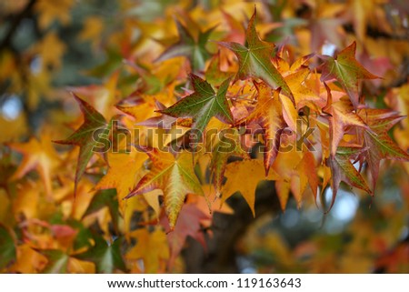 Details of autumn foliage of Liquidambar styraciflua