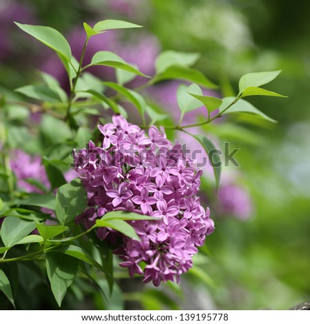 Details of flowers and leaves of common lilac, Syringa vulgaris.