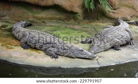 Details of nile crocodile, crocodylus niloticus, in captivity.