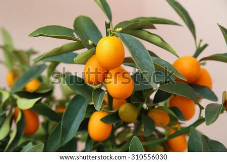 details of Orange kumquat on the tree - symbol of Vietnamese lunar new year - stock photo
