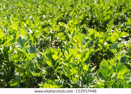 Details of outdoor growing Knob Celery plants in the summer season. - stock photo