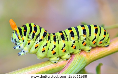 details of papilio machaon caterpillar - stock photo