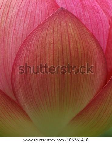 Details of Pink Lotus Petal - stock photo