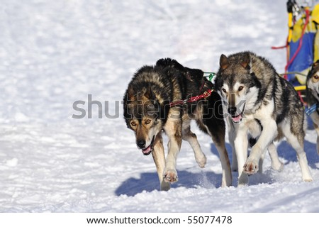 Details of two huskies in full action, perfectly in step as the pull the sledge (just visible) - stock photo