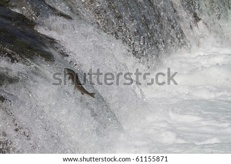 Determination - The sockeye salmon jump up over the Brooks falls to reach their upstream spawning grounds. - stock photo