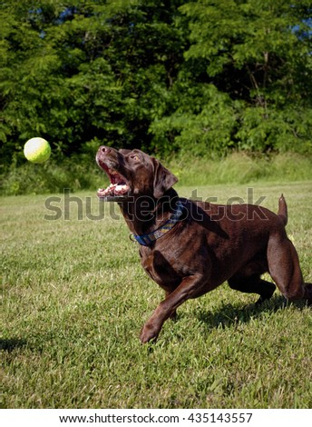 Determined and focused chocolate Labrador retriever reaching for tennis ball on green lawn