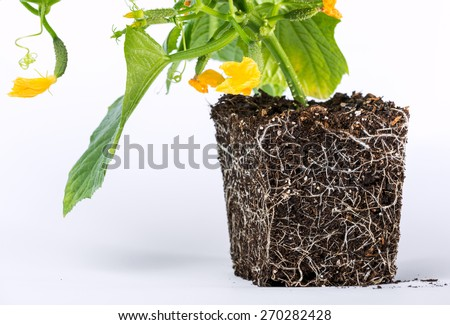 development of roots of young plants, the main thing in the development of cucumber, is food. Grow cucumbers pretty simple, but to get a good crop, it is necessary to know the agricultural techniques - stock photo