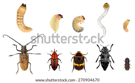 Development stages-imago and larvae of longhorn beetle(Cerambycidae),snout beetle (Curculionidae),scarab beetle(Scarabaeinae),jewel beetle (Buprestidae)and bark beetle(Scolytidae).Isolated on a white  - stock photo