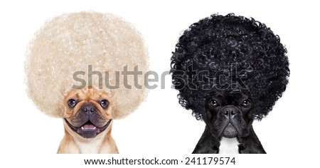 Devil and Angel french bulldog dogs sitting side by side deciding between right and wrong , good or bad, black or white,isolated on white background - stock photo