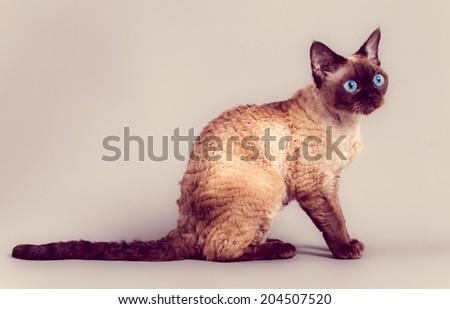 Devon Rex cat - stock photo
