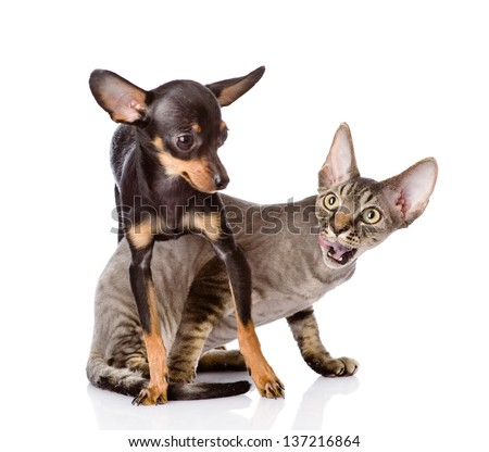 devon rex cat and toy-terrier puppy playing together. looking away ...