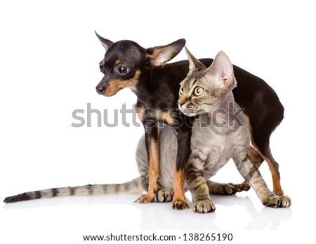 devon rex cat and toy-terrier puppy together. looking away. isolated on white background