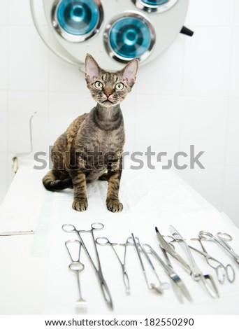 Devon rex cat in veterinary clinic near medical tool - stock photo