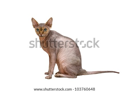 Devon Rex. Isolated on white background with clipping path - stock photo