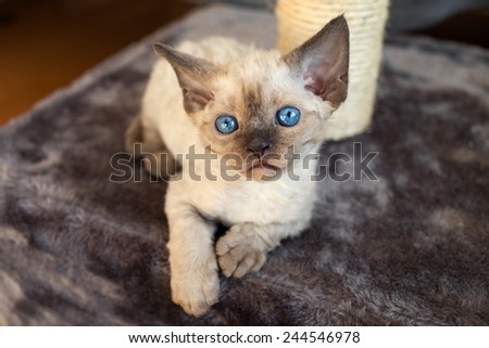 devon rex kitten on the scratching post