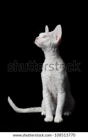 Devon Rex on black background - stock photo