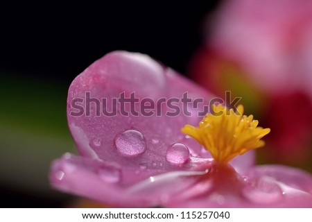 dew and flower - stock photo