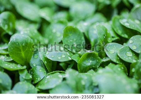 Dew-drop on lamb's lettuce