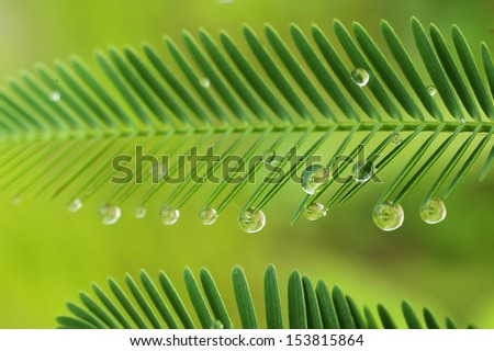 dew droplets at the tip of mimosa leafs - stock photo