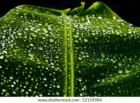 Dew drops and reflections on a banana leaf.