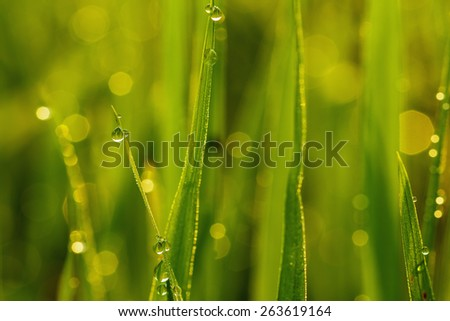 Dew drops on fresh green  grass leaves close up - stock photo