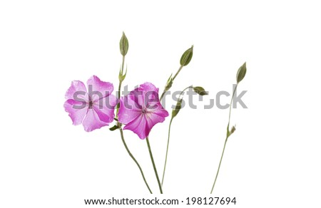 Dew drops on pink wild flowers isolated on white background - stock photo