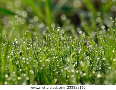 Dew drops on the green grass - stock photo
