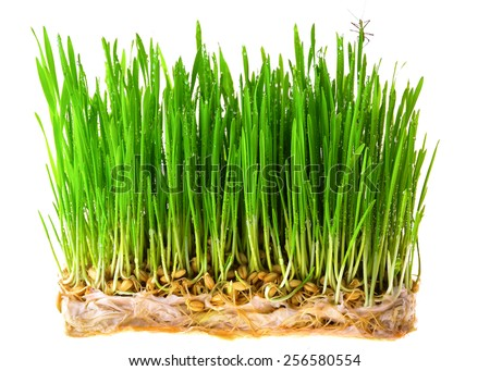 dew  fresh green wheat seedlings on spring green on white background - stock photo