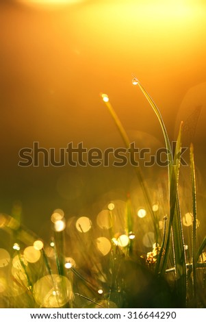 dew on green grass on yellow sunrise background. Fresh morning photo