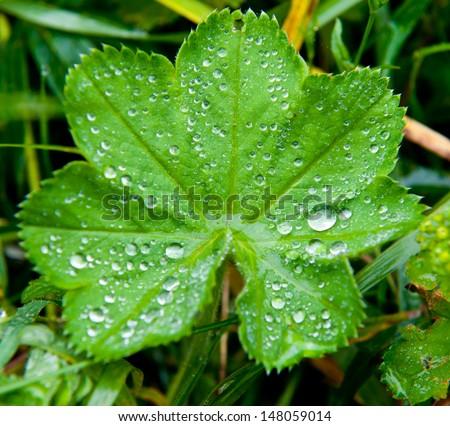 dew on leaf - stock photo