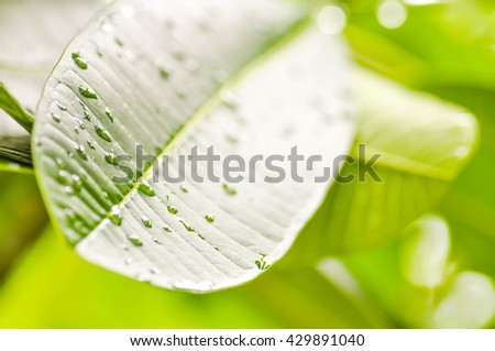 dew on plumeria leaf - stock photo