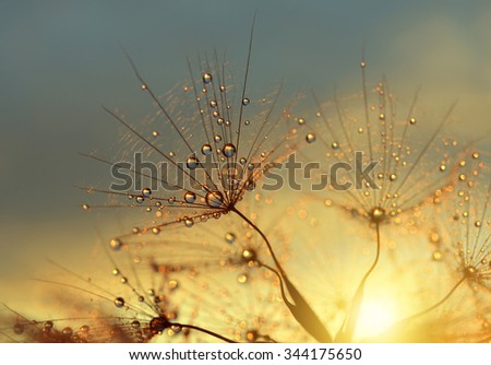 Dewy dandelion flower at sunrise close up. Natural backgrounds. - stock photo
