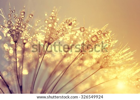 Dewy dandelion flower at sunset close up - stock photo