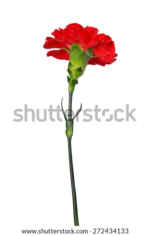 Dewy red carnation flower isolated on white background