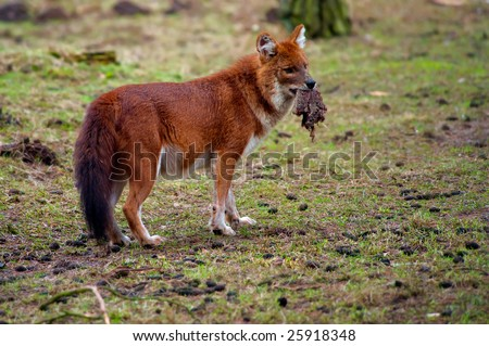 Dhole (Cuon alpinus), also known as the Asiatic Wild Dog, Indian Wild Dog or Red Dog with prey